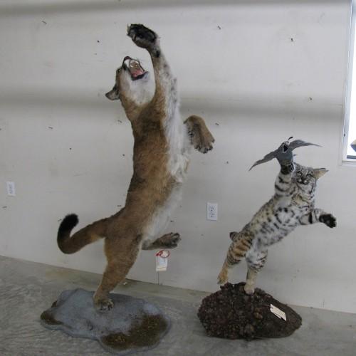 Cougar & Bobcat